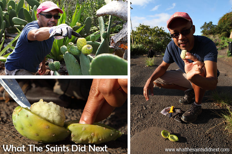 These pictures make Darrin look better at picking tungi and opening it up than he was!! These cactus bushes are growing right alongside the road in Half Tree Hollow, St Helena.  How To Eat Prickly Pear Tungi.