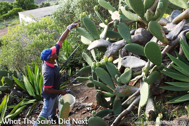 Picking tungi on St Helena it is not unusual to be surrounded by not only spiky hairs and prickles but also aloe bushes, and it always seems to be on a slope!  How To Eat Prickly Pear Tungi.