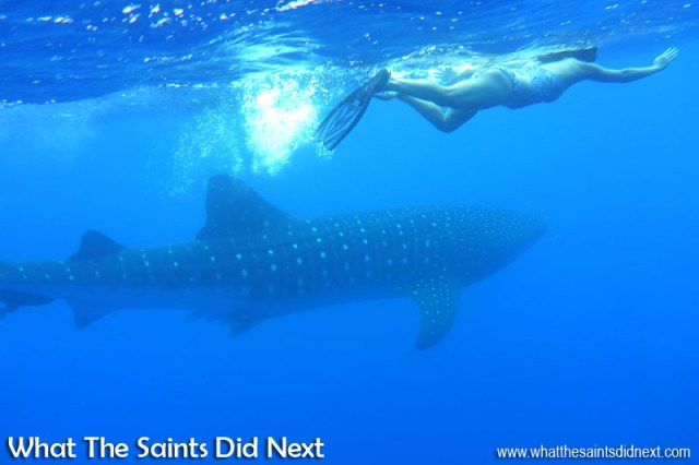 Swimming with whale sharks in St Helena. The Panasonic Lumix DMC-FT5 has an underwater mode to compensate for the colour shifts.