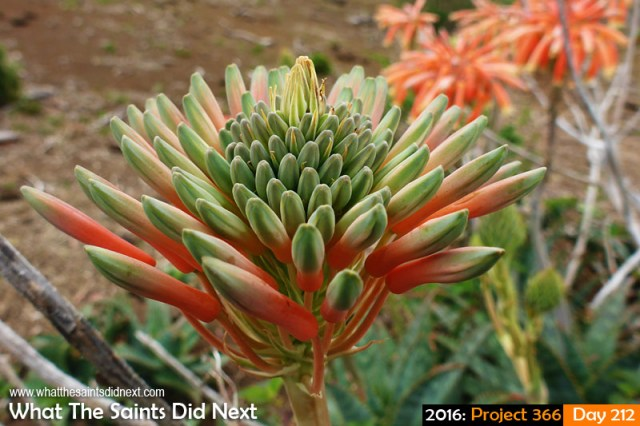 '50 years of hurt' 30 July 2016, 15:40 - 1/250, f/3.3, ISO-100 - Panasonic Lumix FT5 What The Saints Did Next - 2016 Project 366 Soap aloe flower on Deadwood Plain, St Helena.