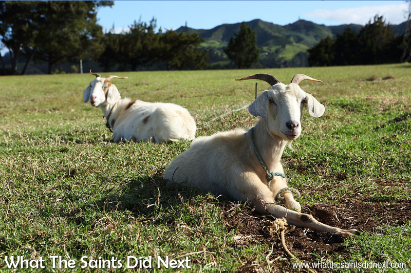 Goats tethered on the golf course at Longwood offer an eco-friendly brand of lawn control. This is also the only golf course on St Helena. Longwood St Helena.
