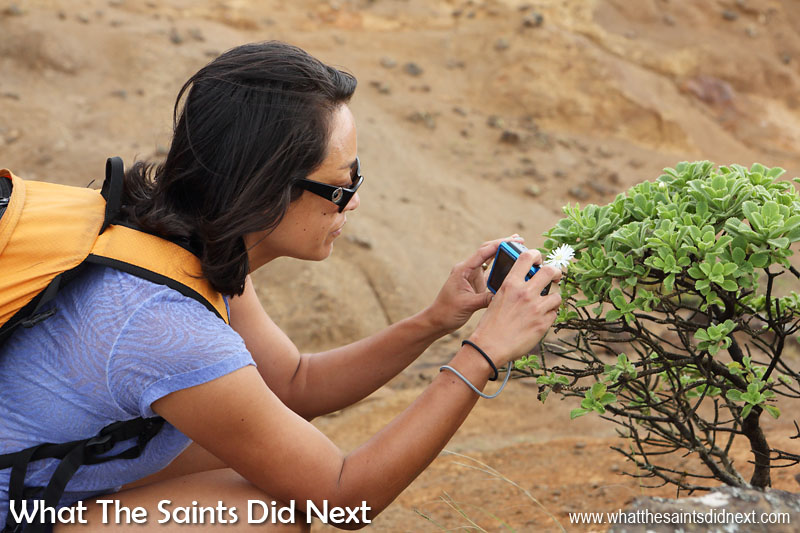 Photographing the endemic scrubwood which seem to prefer the windy side of the ridge. Blue Point post box walk, St Helena Island.