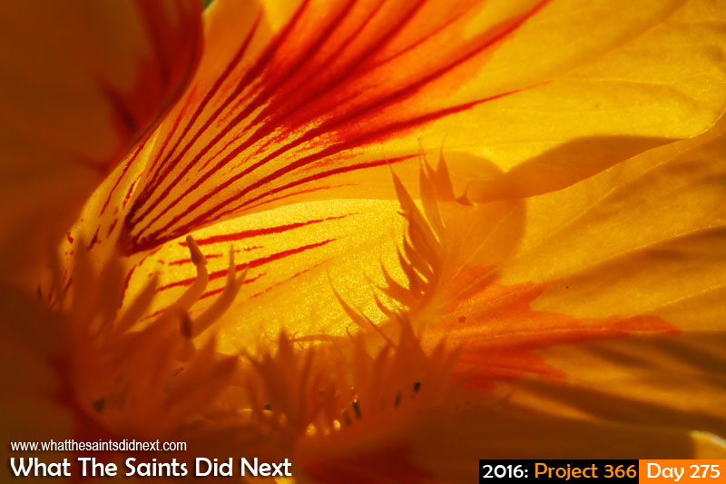 '18 and legal' 1 October 2016, 17:18 - 1/200, f16, ISO-400 What The Saints Did Next - 2016 Project 366 Nasturtium flower in Kunjie Field, St Helena.