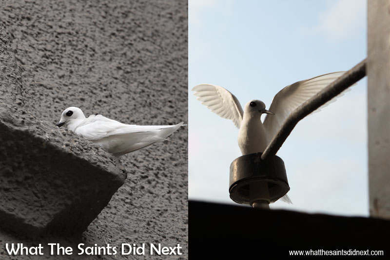 Fairy terns are a common sight taking refuge on the St James clock tower. St James Church St Helena.