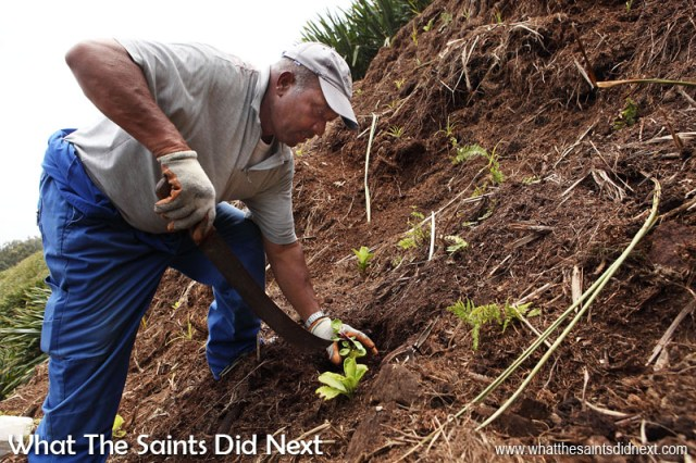 William Crowie, planting endemic seedlings on the hillside. The ferns and trees are all inter-mixed across the site. Diana's Peak National Park, St Helena Island.