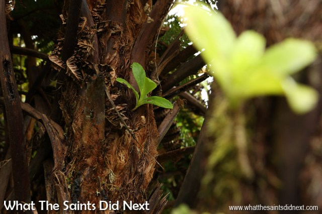 Examples of the tree fern carrying other plants on its trunk are everywhere. Diana's Peak National Park, St Helena Island.