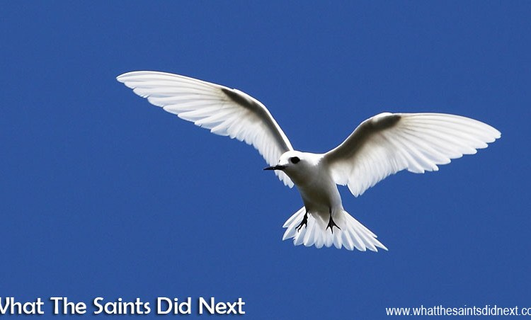 Photography Tips: Photographing White Terns on St Helena