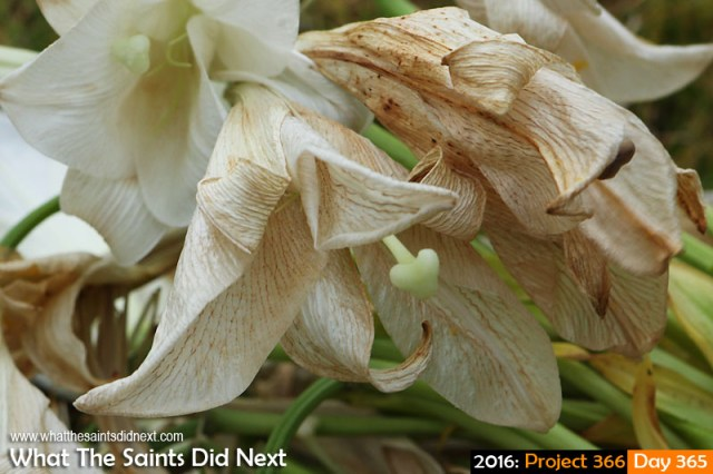 'Honoured' 30 December 2016, 18:02 - 1/125, f8, ISO-400 What The Saints Did Next - 2016 Project 366 Christmas lilies at the end of the festive week.