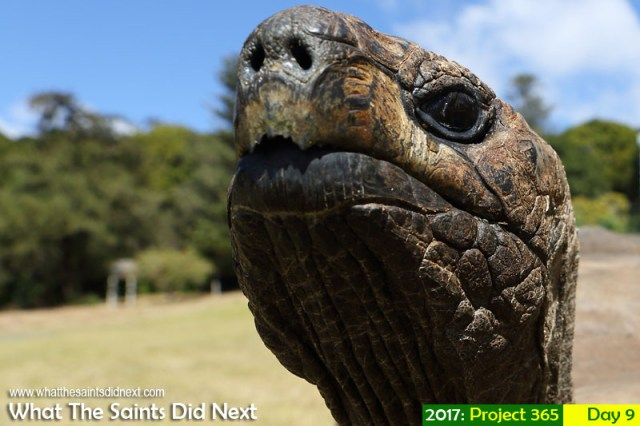 'La La Gold' 9 January 2017, 14:52 - 1/640, f8, ISO-200 What The Saints Did Next - 2016 Project 365. David the tortoise at Plantation, St Helena.