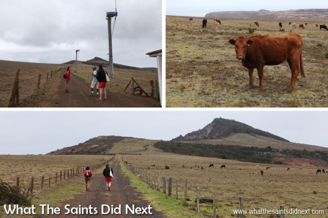 Setting out from the wind farm on Deadwood Plain, heading towards the distant peak of Flagstaff. The cattle that graze on the Deadwood Plain paddocks looked on. Sugar Loaf Post Box walk, St Helena.