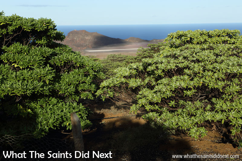 Things To Do With Kids On St Helena - St Helena's endemic gumwood is one the ten rarest species of tree on the planet.