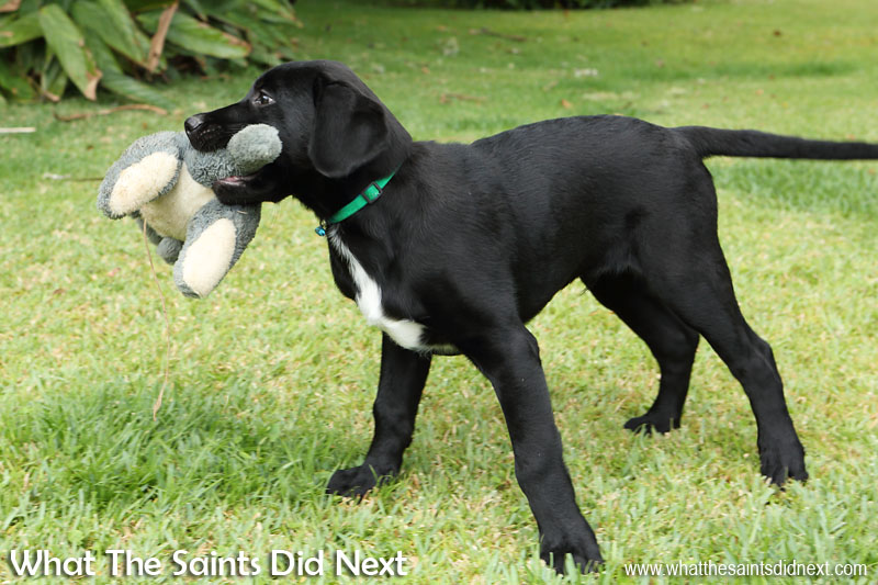 At 11 weeks old everything is fascinating, including this soft toy. New Dogs, Old Tricks - Dusty's Dozen.