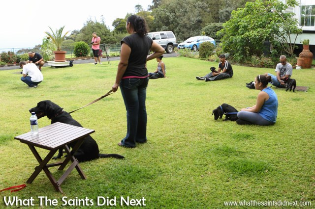 Puppy dog training on Plantation lawn reaches a very orderly moment. New Dogs, Old Tricks - Dusty's Dozen.