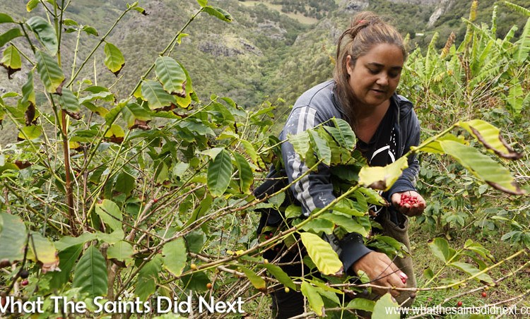 St Helena Coffee – Growing One Of The World's Best