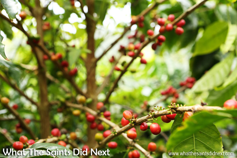 St Helena Coffee by Solomon & Co. - Ripe coffee cherries at the Bamboo Hedge Plantation in Sandy Bay.