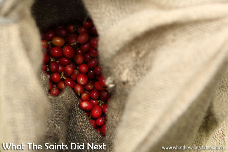 Freshly picked coffee cherries. St Helena Coffee by Solomon & Co.