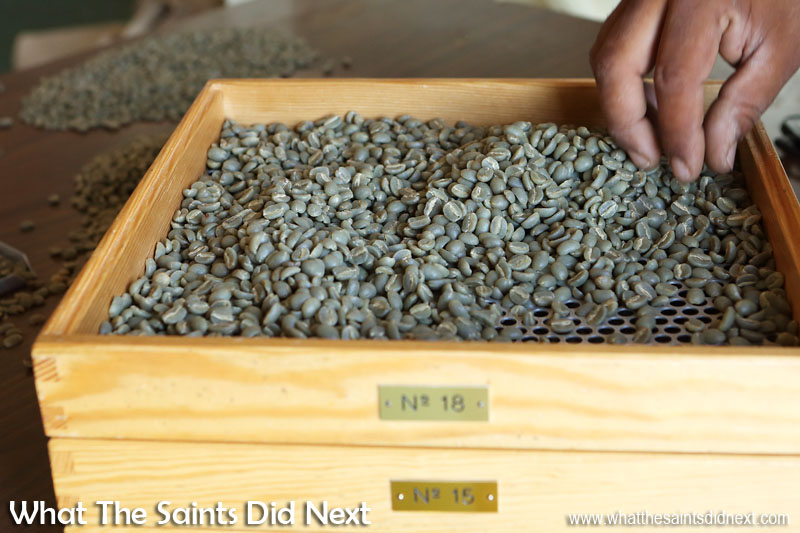 Working with the sorting trays. St Helena Coffee by Solomon & Co.
