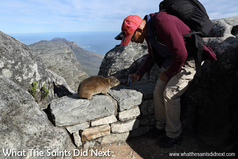 Photographing the Rock Hyrax or 'dassie,' the little furry animal on Table Mountain.