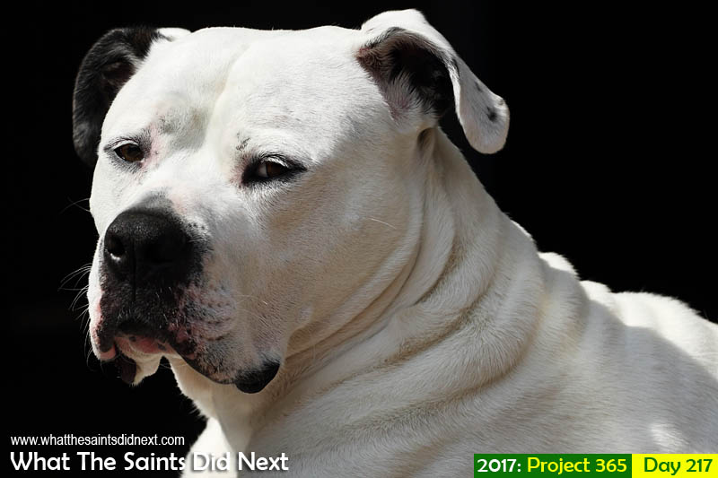 'Bronze Bolt'<br /> 5 August 2017, 11:59 - 1/1000, f8, ISO-200<br /> An American bulldog enjoying the English summer sun.