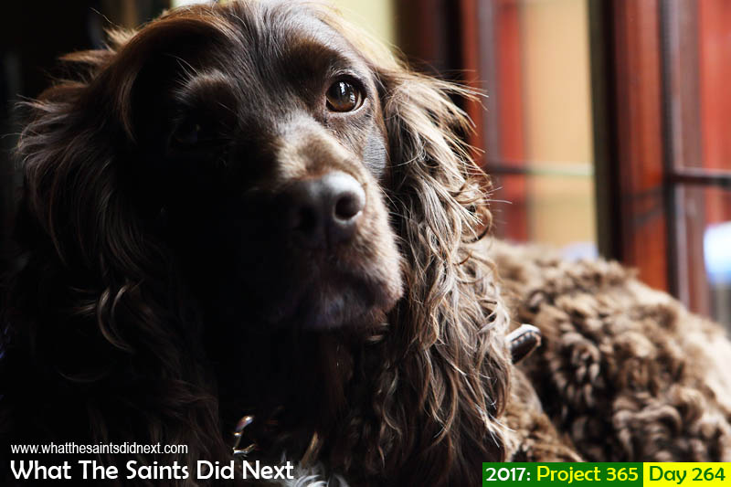 'Dotard'<br /> 21 September 2017, 11:45 - 1/80, f7.1, ISO-400<br /> Meet Coco the English Cocker Spaniel.