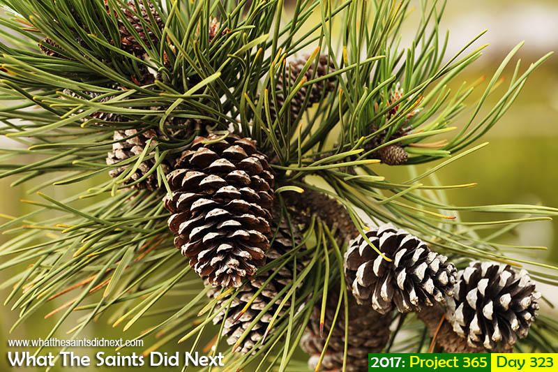 'Young Havana thug'<br /> 19 November, 2017, 16:09 - 1/160, f6.3, ISO-200<br /> Maritime pine cones.