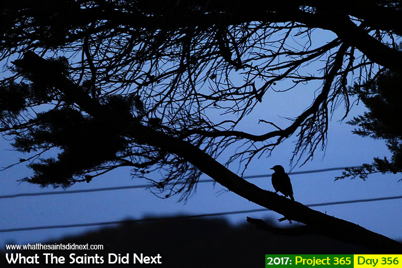 'Back to blue'<br /> 22 December 2017, 19:11 - 1/80, f4, ISO-640<br /> Mynah birds go quiet as night falls.