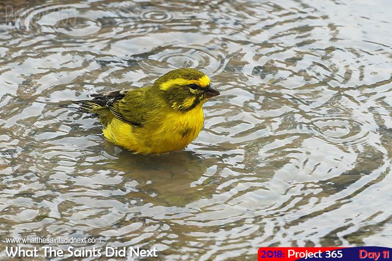 Yellow canary enjoying the January rainy weather. January, 2018.