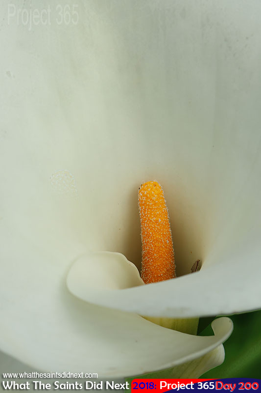 Arum lily growing wild in Lemon Tree Gut.