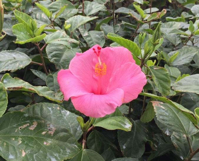 lusty-hibiscus