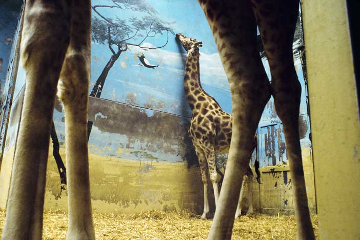 """Giraffe, Paris, France, 2002"" by Rebecca Norris Webb, from the series The Glass Between Us (courtesy of the artist and Robert Klein Gallery, Boston)"