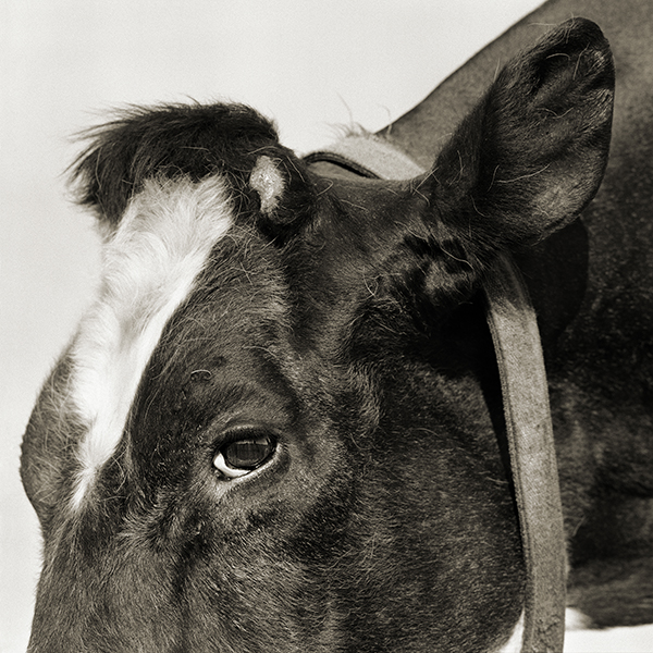 """Valentino, Holstein Cow, Age 19, 2013/2015"" from the series ""Elderly Animals"" by Isa Leshko (courtesy of the artist and Richard Levy Gallery, Albuquerque, NM)."