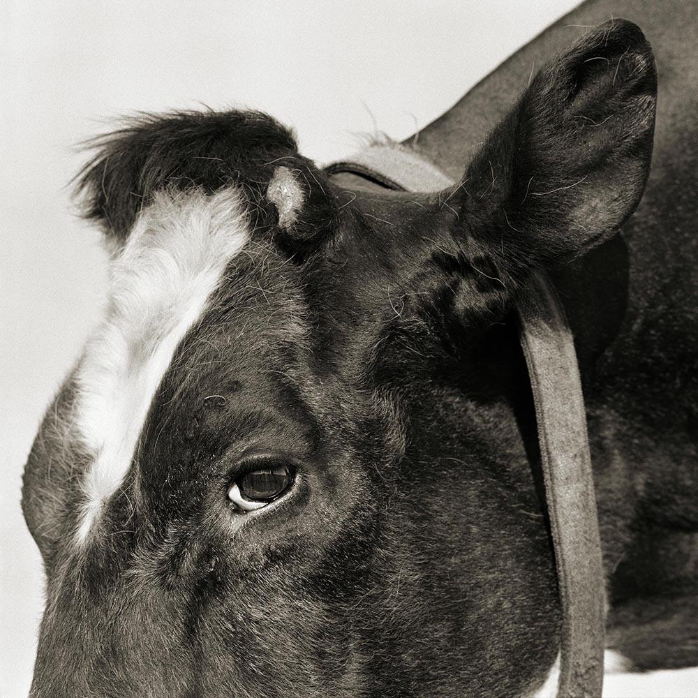 geriatric cow