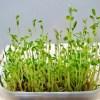豆苗の再生方法のやり方のコツと場所や期間や収穫回数を丸ごと伝授!
