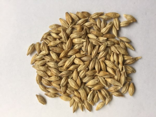 Beardless Barley Seed at Wheatland Seed