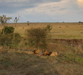 Two male lions in Masai Mara National Reserve, Kenya.
