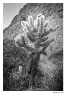 Cholla are almost luminous in early AM sun