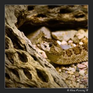 Mohave Rattlesnake...eeeeeek!