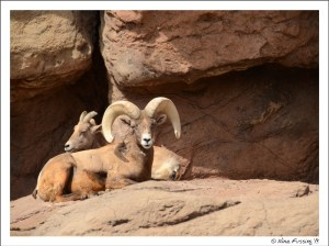 Big Horn Sheep at the Desert Museum