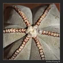 Astrophytum Myriostigma...don't ask me??!!