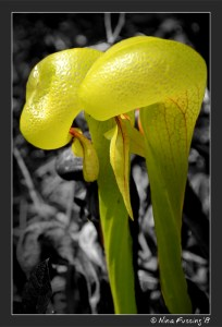 The meat-eating Darlingtonia Californica