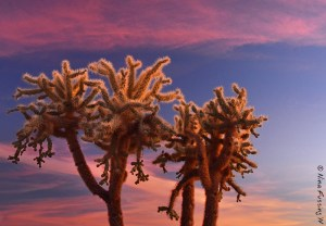 Bright pinks illuminate a Cholla tree