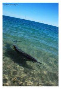 A Dolphin in pristine waters at Monkey Mia