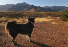 Polly ponders the Santa Rita Mountains