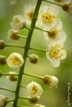 Aromatic whites