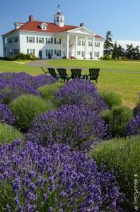 Stunning Washington Lavender
