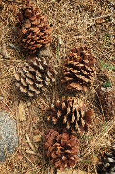 More luscious pine cones