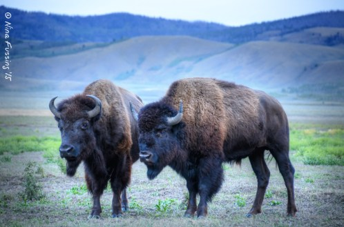 Bison herd on the range