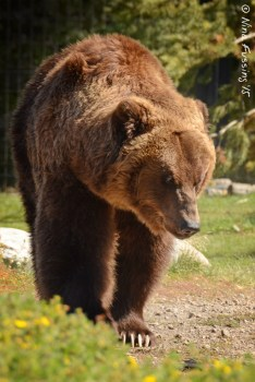 One of the grizzlies at the Discovery Center