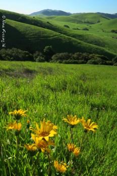 Wildflowers at Helen Putnam Park