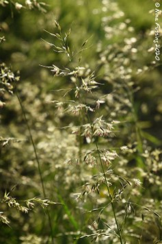 Grasses in the sun